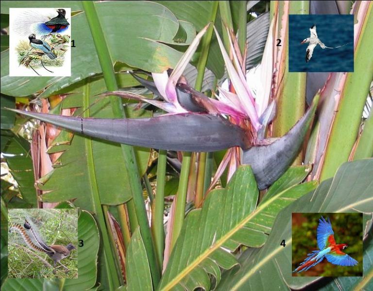 Quel oiseau correspond au nom donné à cette magnifique fleur de la famille des --------- dont le genre ------- porte le nom d'une reine d'Angleterre ?