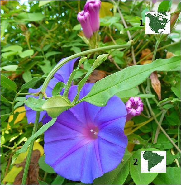 Belles-de-jour, liserons, ipomées, des volubiles de la famille des -----------. Ces fleurs sont originaires de --------.