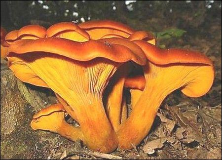 Allez-vous cueillir ce champignon ?