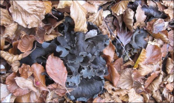 Allez-vous reconnaître ces derniers champignons de novembre, bien cachés sous ces feuilles d'automne ?