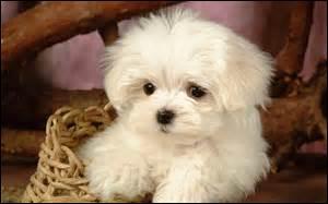 Le bichon ------- est à l'origine du chien appelé le coton de --------. Il porte le nom d'une ville du ------ de Madagascar.