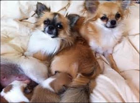 Le ------- serait le descendant des chiens qui accompagnaient les -------. Ce chien courageux peut faire preuve d'-------. Il porte sa queue ------- sur le dos.