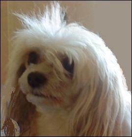 La variété de chien chinois à ------- offre un poil ------ dont le duvet ------ recouvre le corps. Sa morphologie est la même que celle de la variété -------.