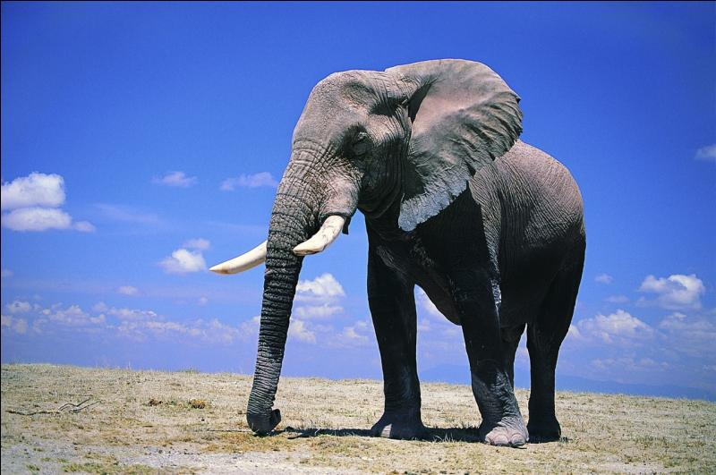 Quelle est la différence entre l'éléphant d'Afrique et l'éléphant d'Asie ?