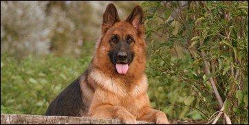 Quelle est la race de chien qui est la meilleure en défense ?