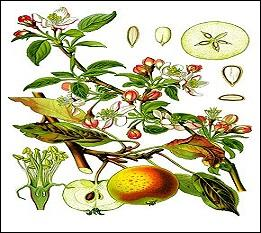 Voilà une mise en bouche ! Tout le monde connaît les pommes, mais de quelle espèce d'arbre sont-elles toutes issues ?