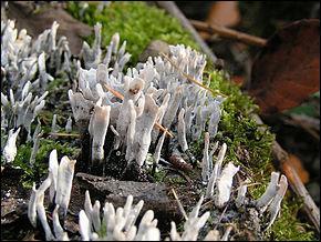 On ne dirait pas que ce sont des champignons, mais si je vous l'assure. Il s'appelle xylaire du bois. Est-elle comestible ?