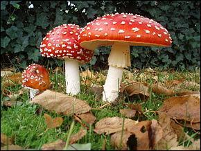 Vous connaissez tous ce champignon, il s'appelle amanite tue-mouche !  Est-il comestible ?