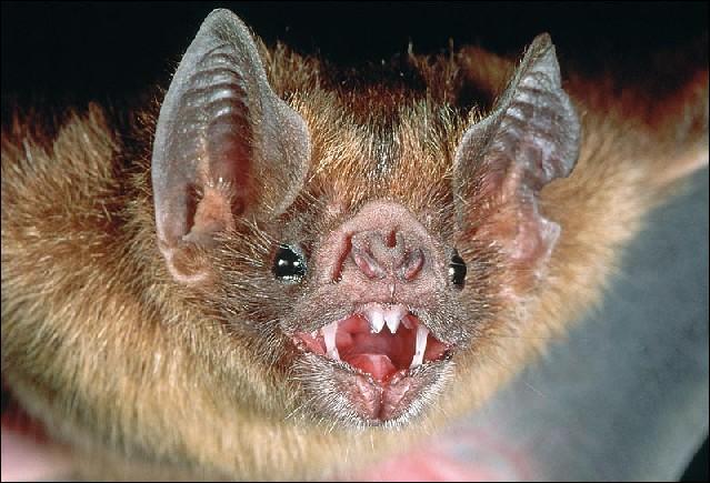 La chauve-souris vampire se nourrit-elle de sang ?