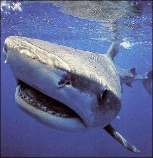 Ce requin est un requin...
