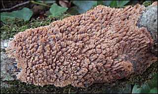 On dirait un champignon de souche !