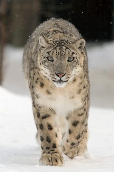 Également nommé panthère des neiges, ce félin vit dans les montagnes asiatiques et chasse plutôt pendant la journée ; il est considéré aujourd'hui comme une espèce en danger. De quel félin s'agit-il ?