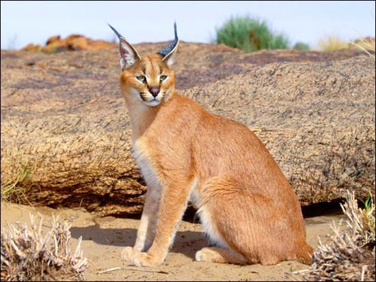 Également appelé lynx du désert ou lynx de Perse, ce félin vit en Afrique et en Asie. Il est plutôt nocturne et ses oreilles, caractéristiques de cette espèce, lui permettent de bien entendre. Il s'agit bien sûr de quel félin ?