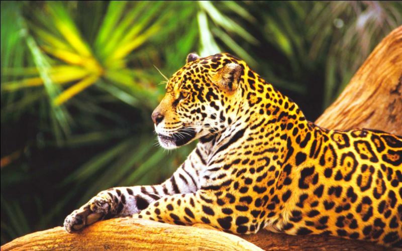 Ce grand félin vit plutôt en Amérique latine dans des forêt tropicales et aime nager. C'est un superprédateur qui possède une puissante mâchoire capable de percer des carapaces de reptiles et même le crâne de ses proies ! Quel est donc ce félin ?