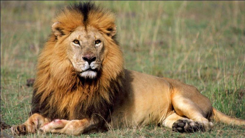 Ce félin est surnommé le roi des animaux à cause de sa crinière caractéristique. Il est le seul félin à vivre en larges groupes familiaux et est aujourd'hui menacé d'extinction. Vous l'avez reconnu, c'est :