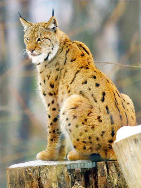 Aussi appelé lynx commun ou lynx d'Eurasie, ce félin est doté de longues pattes et d'une queue courte, et peut ainsi se déplacer facilement sur la neige. Avez-vous trouvé de quel félin il s'agit ?
