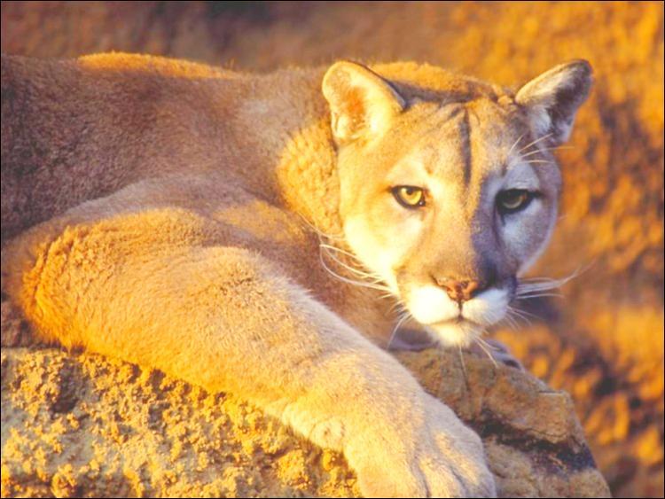 Parfois appelé lion des montagnes, ce félin, vivant en Amérique, est caractérisé par une fourrure sans taches et une grande agilité. Quel est ce félin ?