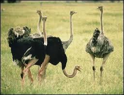 Quizz les autruches quiz animaux bizarres savane oiseaux - Bebe autruche ...