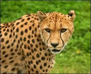 Le guépard est l'animal terrestre le plus rapide au monde.