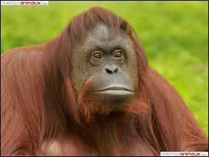 """Le nom de ce grand singe est correctement orthographié : """"oran-outang"""""""