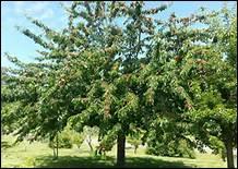 Un verger est un espace planté d'arbres fruitiers.