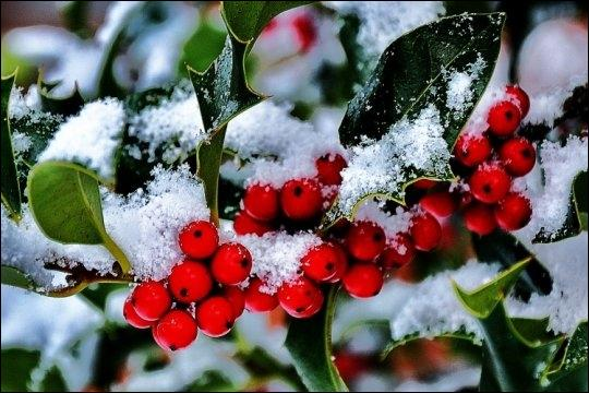 Quelle est cette plante (en anglais) souvent dans les maisons pendant la période des fêtes de Noël ?
