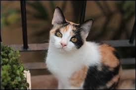 Quelle est la couleur que seules les chattes peuvent avoir (à 99 %) ?
