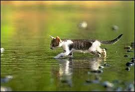 Un chat sait-il nager ?