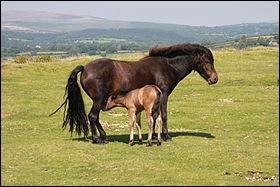 C'est un poney anglais souvent foncé, ...