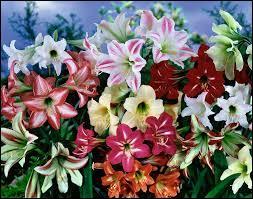Quel soin faut-il prendre des amaryllis qui viennent de terminer leur royale floraison ?