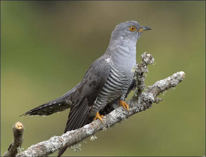 Quel mystère entoure cet oiseau qui pond son œuf dans le nid des autres oiseaux ?