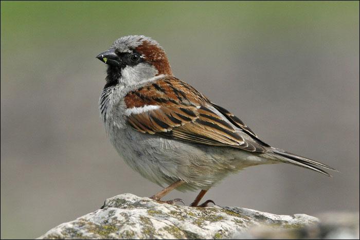 Cet oiseau passereau, sédentaire en Europe, est migrateur en Sibérie. C'est...