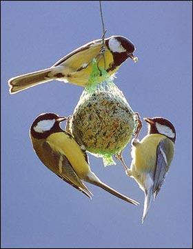 Avant de partir, l'oiseau augmente son poids. Certains le doublent. Comment et pourquoi ?