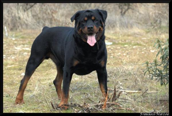 D'où vient le Rottweiler ?