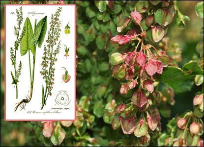 Celle-ci est réputée pour soigner l'acné, l'eczéma, le psoriasis ou la constipation légère. De quelle plante s'agit-il ?