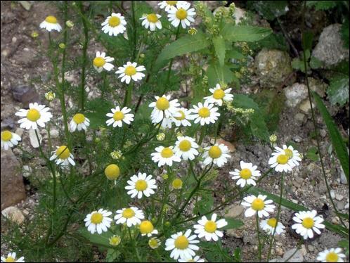 Cette plante est utilisée depuis l'Antiquité pour faire baisser la fièvre et diminuer les courbatures... Quel est son nom ?