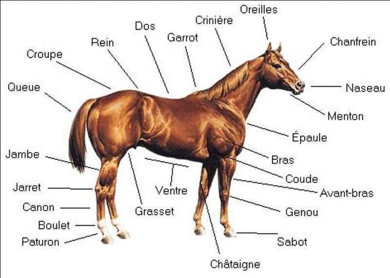 Quelles sont les trois parties principales du corps du cheval ?