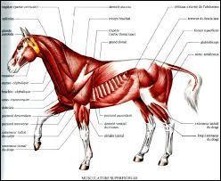 Combien le cheval possède-t-il de muscles ?