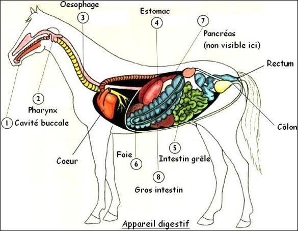 Chez le cheval, le côlon se situe sous le rectum :
