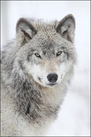 """Quel est l'auteur du roman """"Loup"""" ?"""