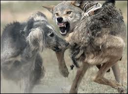 """Qui a écrit le livre """"Entre chiens et loups"""" ?"""