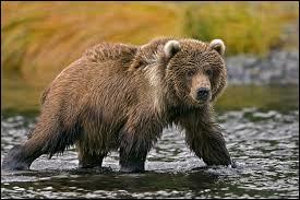 Quel ours brun, le plus gros du monde, vit en Alaska et porte le même nom qu'une île faisant partie de cet Etat ?