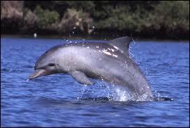 Grâce à quelle nageoire le dauphin peut-il dormir sans avoir à se réveiller pour remonter à la surface ?