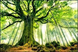 Quel est l'arbre le plus haut ?