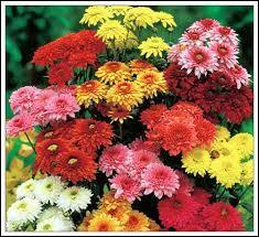 Laquelle de ces fleurs est représentative de la Toussaint ?