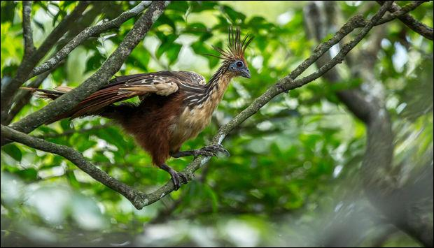 C'est un oiseau préhistorique que l'on peut voir en Guyane !
