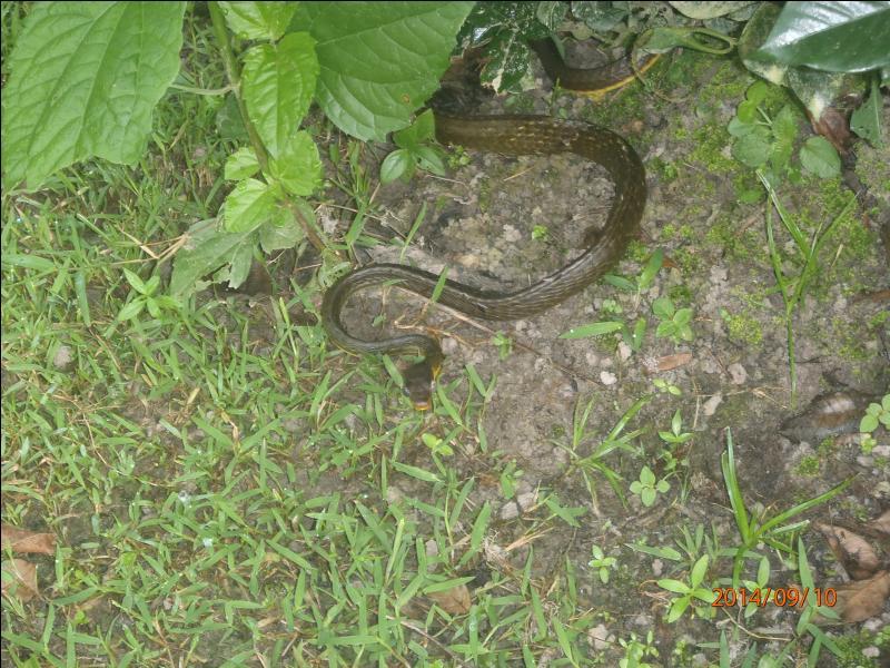 Ce serpent n'est pas venimeux, par contre il est très agressif, très rapide, les Guyanais lui donnent le nom d'un prédateur humain !
