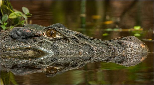 C'est l'un des plus grands crocodiliens du monde, en Guyane amazonienne, on le trouve dans le marais de Kaw !