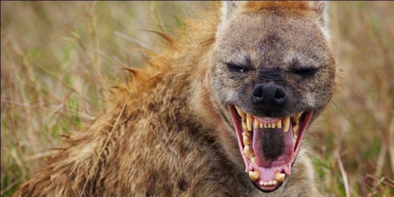 """Quel animal est surnommé """" la hyène du grand Nord """" ?"""