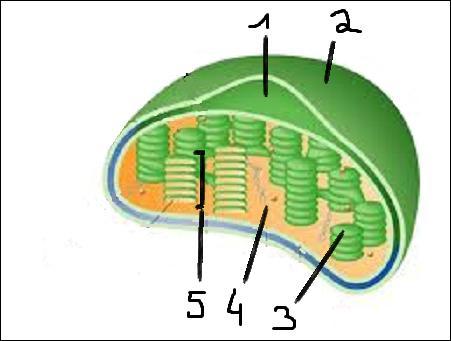 Quel numéro représente le thylakoïde ?